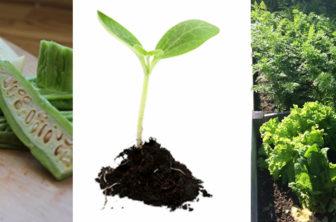 odla förkultivera