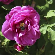 rosor blommor