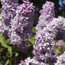 syrener blommor